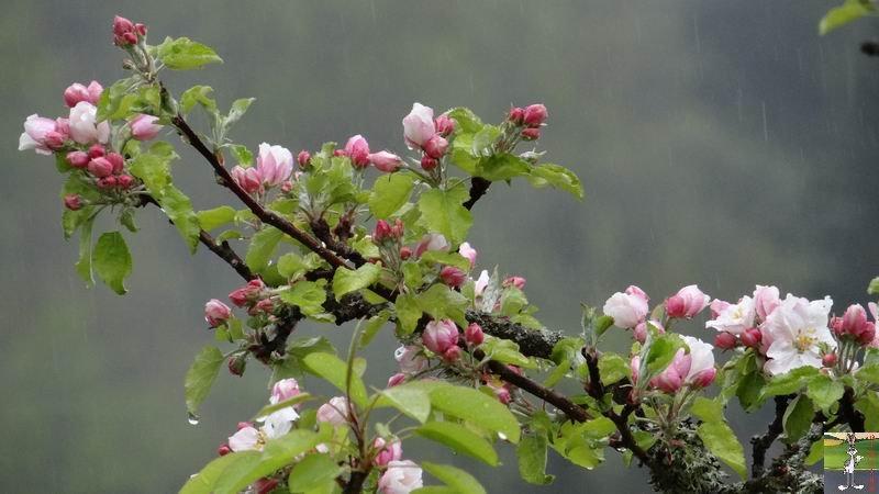 2014-05-01 : Les pommiers sont en fleurs à La Mainmorte (39) 2014-05-01_fleurs_01