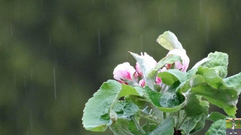 2014-05-01 : Les pommiers sont en fleurs à La Mainmorte (39) 2014-05-01_fleurs_03