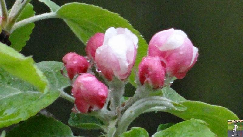 2014-05-01 : Les pommiers sont en fleurs à La Mainmorte (39) 2014-05-01_fleurs_06