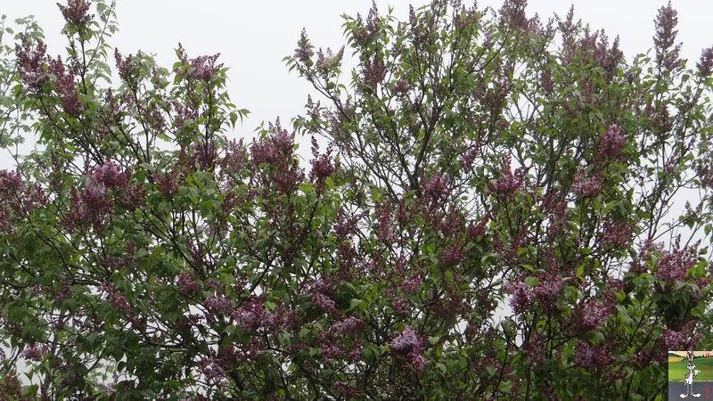 2014-05-01 : Les pommiers sont en fleurs à La Mainmorte (39) 2014-05-01_fleurs_07