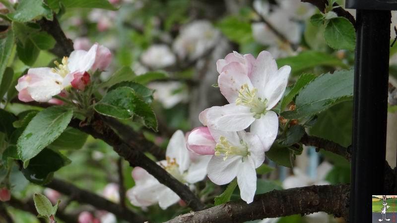 2014-05-01 : Les pommiers sont en fleurs à La Mainmorte (39) 2014-05-01_fleurs_09