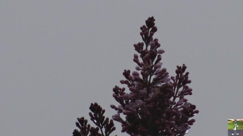 2014-05-01 : Les pommiers sont en fleurs à La Mainmorte (39) 2014-05-01_fleurs_10