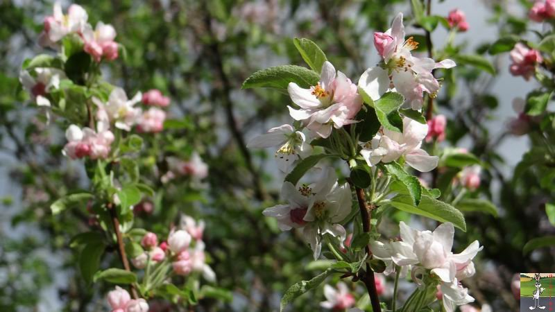 2015-05-09 : Les fleurs sont belles à La Mainmorte (39) 2015-05-09_fleurs_09
