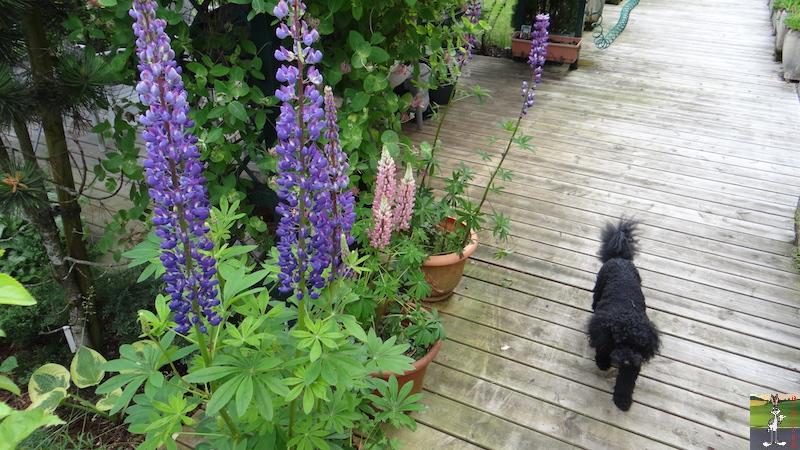 2016-06-26 : Les lupins en fleur et Fylou en vadrouille à La Mainmorte (39) 2016-06-26_fleurs_fylou_04