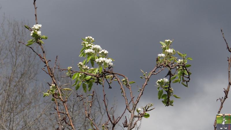 2017-04-15 : Arbres en fleurs et ciel gris à La Mainmorte (39) 2017-04-15_fleurs_ciel_gris_03