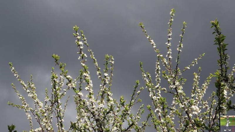 2017-04-15 : Arbres en fleurs et ciel gris à La Mainmorte (39) 2017-04-15_fleurs_ciel_gris_07