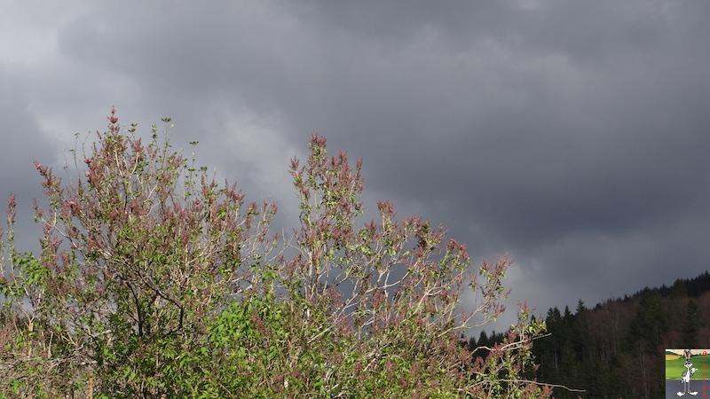 2017-04-15 : Arbres en fleurs et ciel gris à La Mainmorte (39) 2017-04-15_fleurs_ciel_gris_14