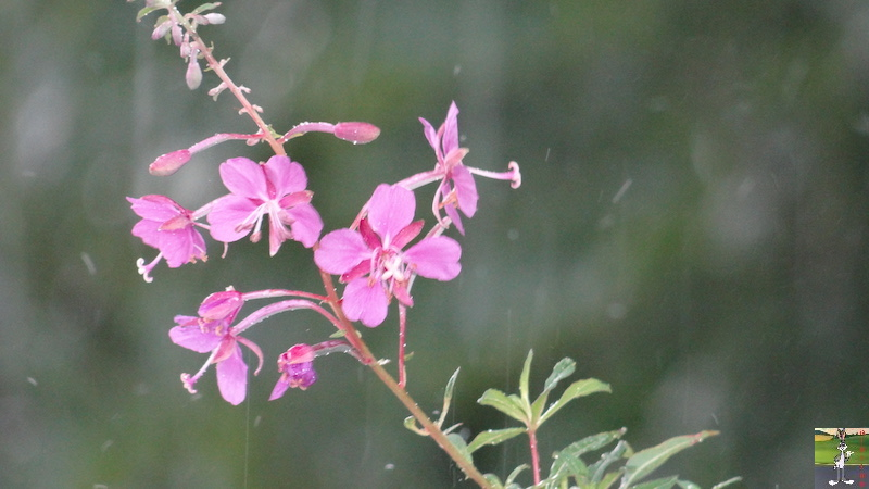 2017-07-22 : Fleurs et pluie à La Mainmorte (39) 2017-07-22_Fleurs_Pluie_05