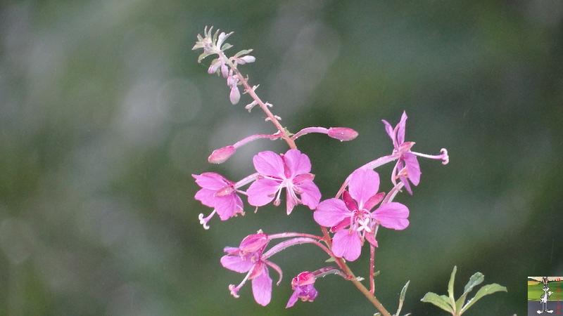 2017-07-22 : Fleurs et pluie à La Mainmorte (39) 2017-07-22_Fleurs_Pluie_06