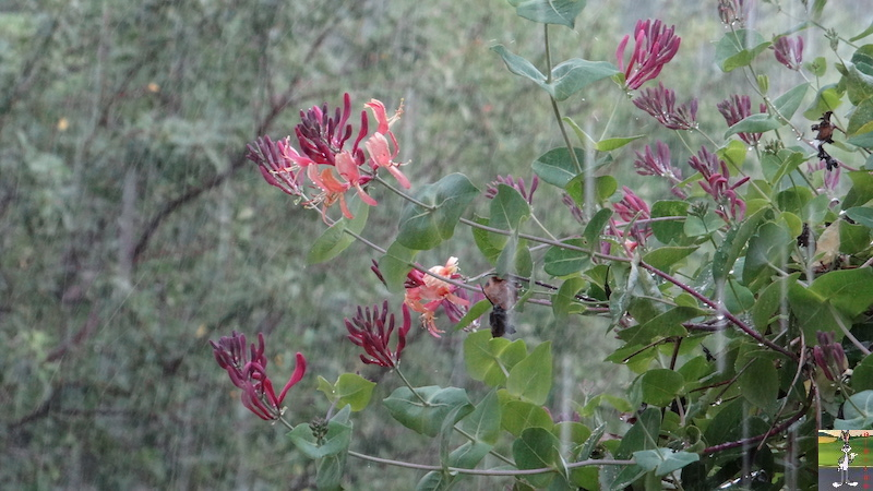 2017-07-22 : Fleurs et pluie à La Mainmorte (39) 2017-07-22_Fleurs_Pluie_10