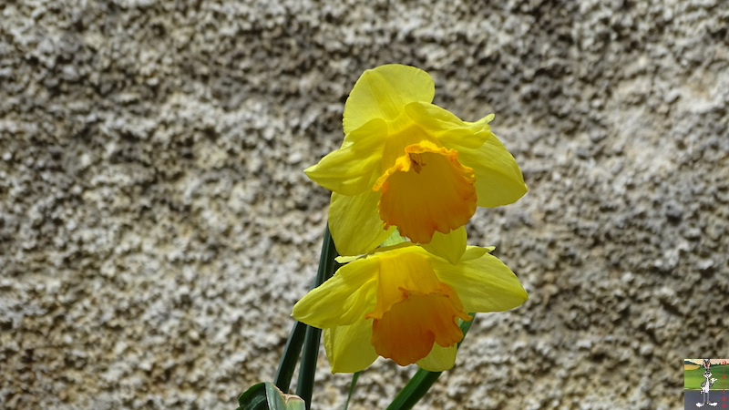 2018-04-15: Retour des fleurs à La Mainmorte (39) 2018-04-15_fleurs_03