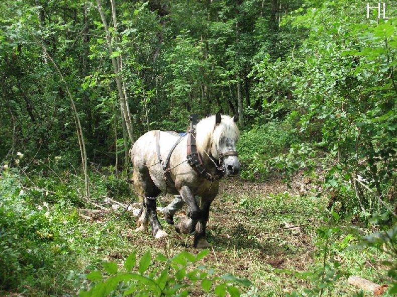 2010-07-27 : Débardage avec des chevaux - Hélène L. 0018