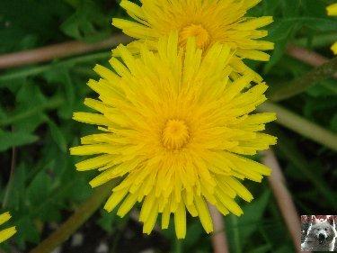 Fleurs de nos champs 0066