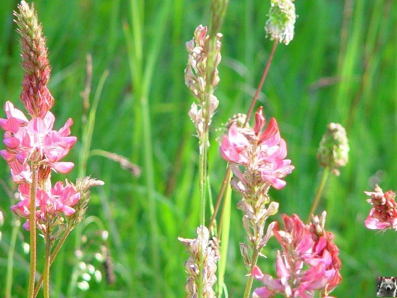 Fleurs de nos champs 0078