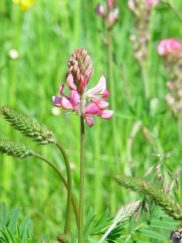 Fleurs de nos champs 0079