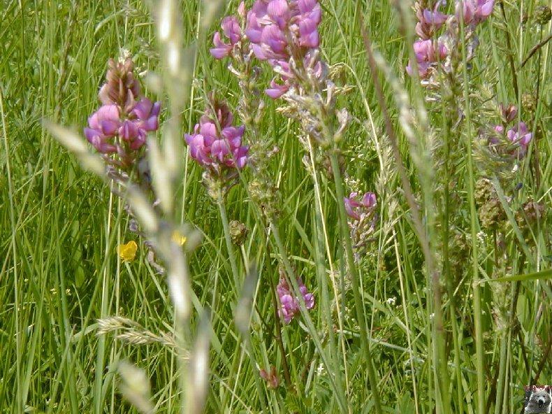 Fleurs de nos champs 0082