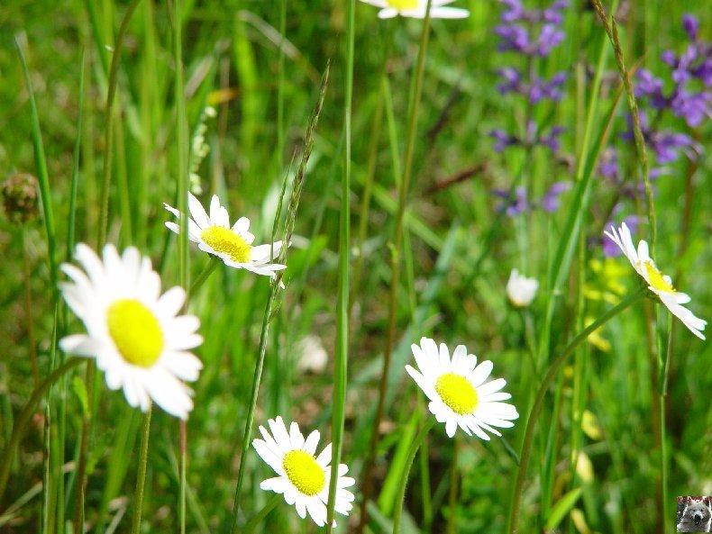 Fleurs de nos champs 0083
