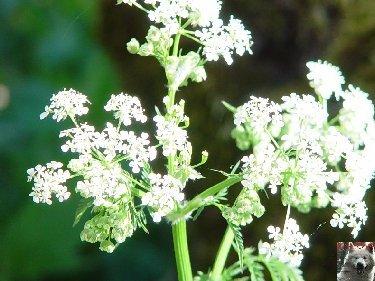 Fleurs de nos champs 0086