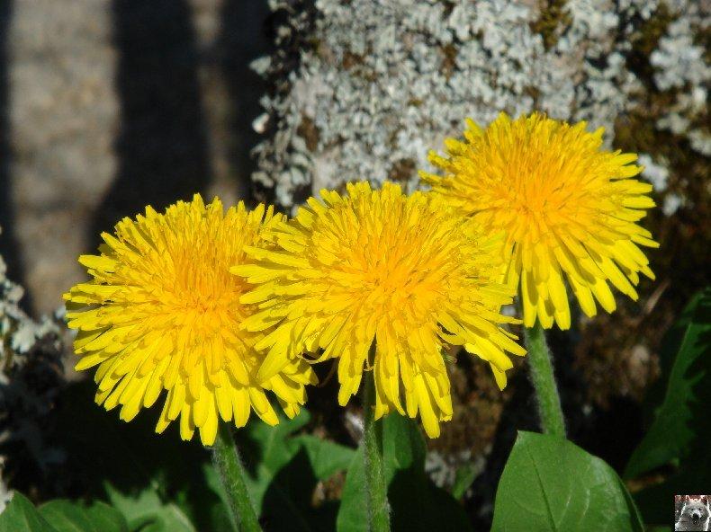 Fleurs de nos champs 0097