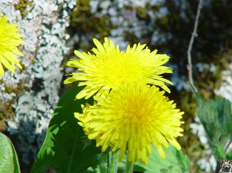 Fleurs de nos champs 0098