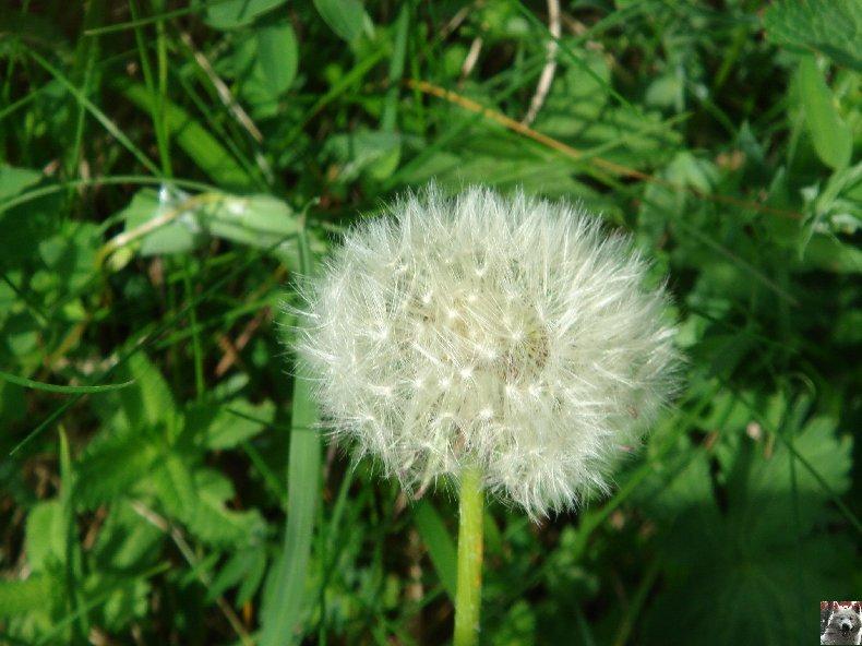 Fleurs de nos champs 0099