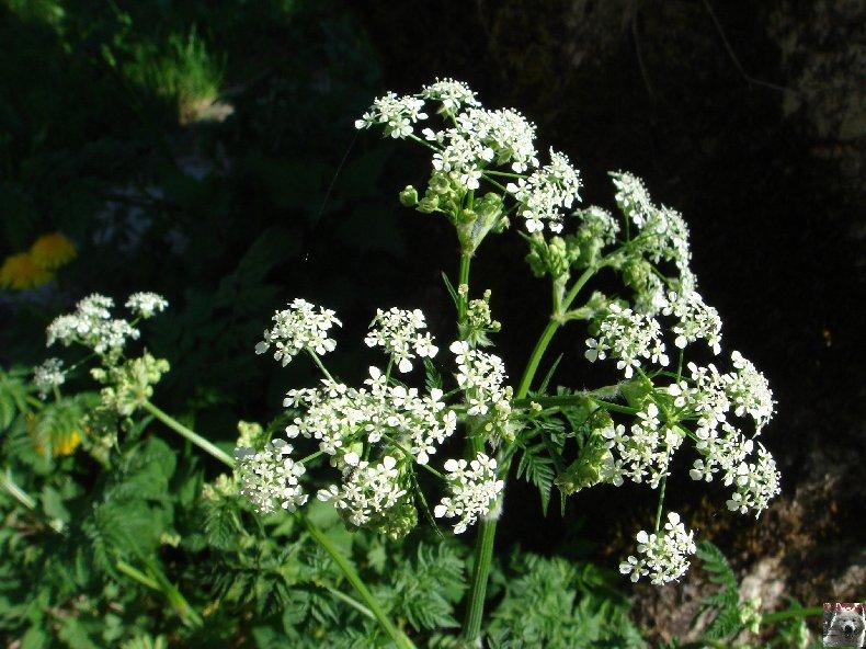 Fleurs de nos champs 0105