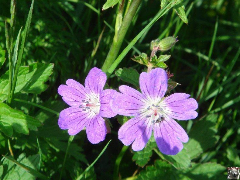 Fleurs de nos champs 0108