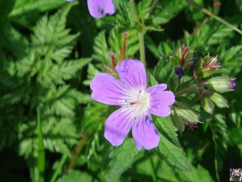 Fleurs de nos champs 0109