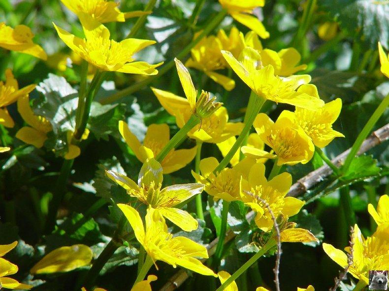 Fleurs de nos champs 0114