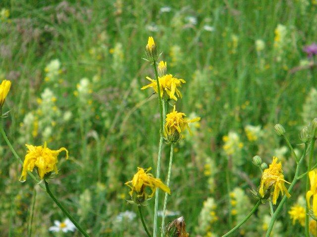 Fleurs de nos champs 0116