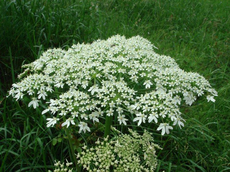 Fleurs de nos champs 0117