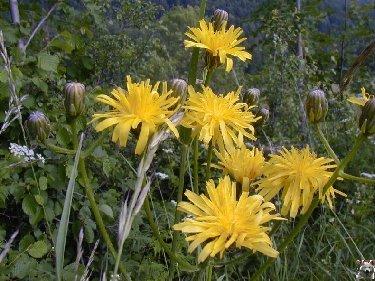 Fleurs de nos champs 0121