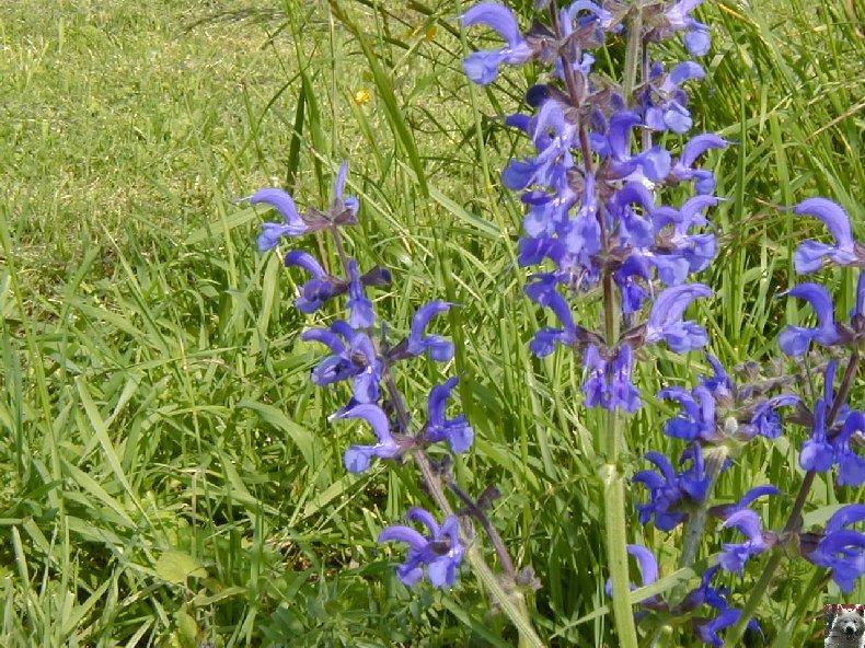 Fleurs de nos champs 0126