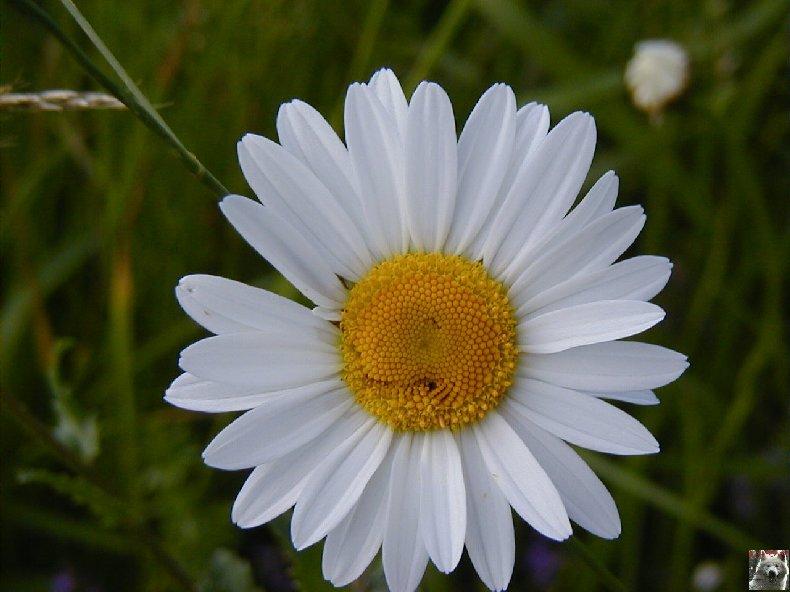 Fleurs de nos champs 0128