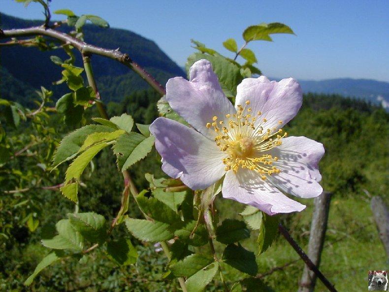 Fleurs de nos champs 0131