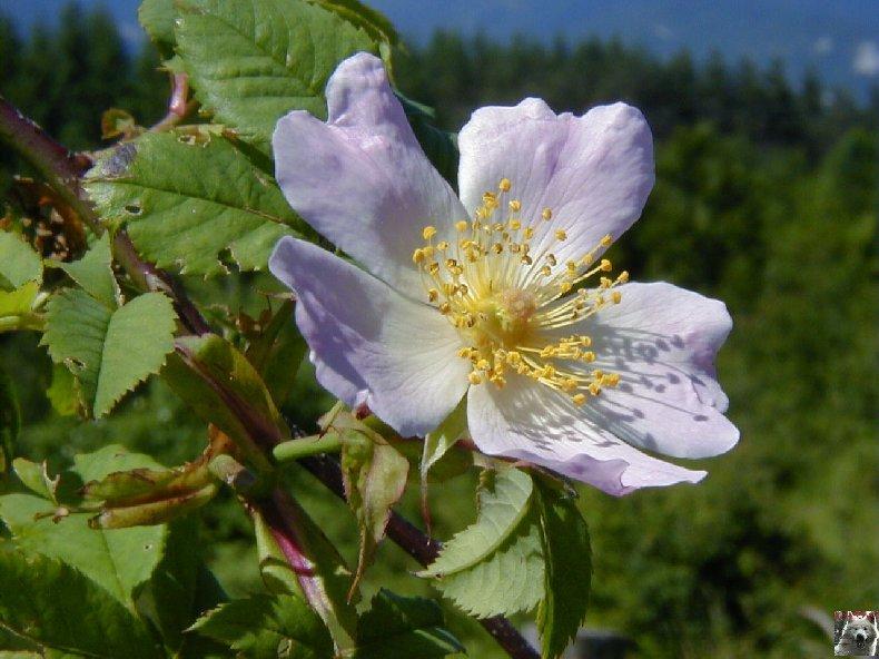Fleurs de nos champs 0131a