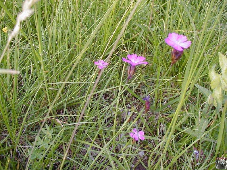 Fleurs de nos champs 0133
