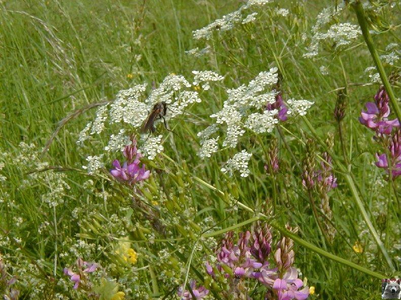 Fleurs de nos champs 0134
