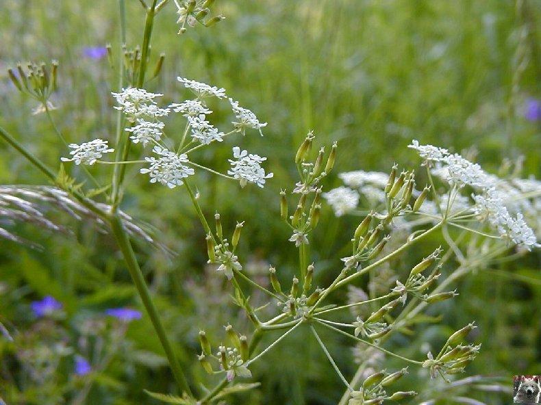 Fleurs de nos champs 0135
