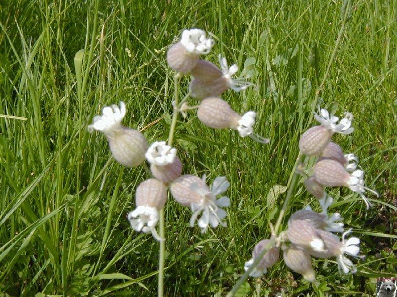 Fleurs de nos champs 0136