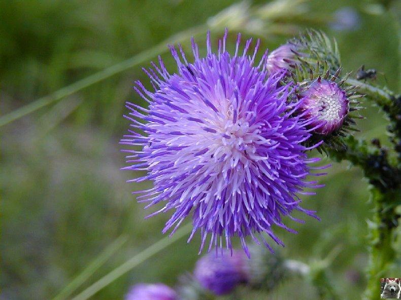 Fleurs de nos champs 0137