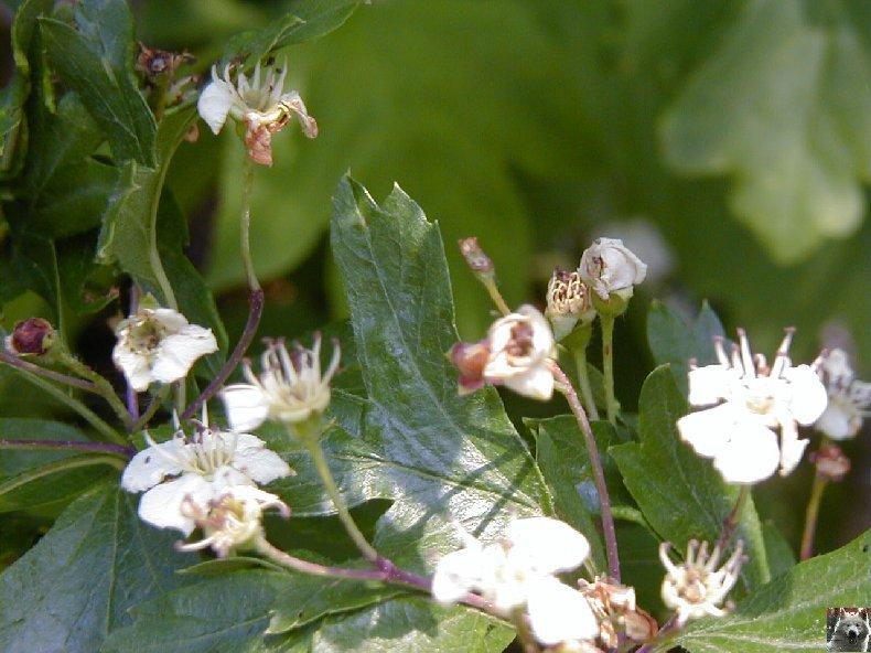Fleurs de nos champs 0139