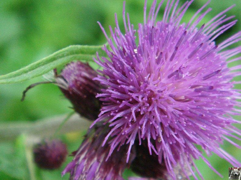 Fleurs de nos champs 0152