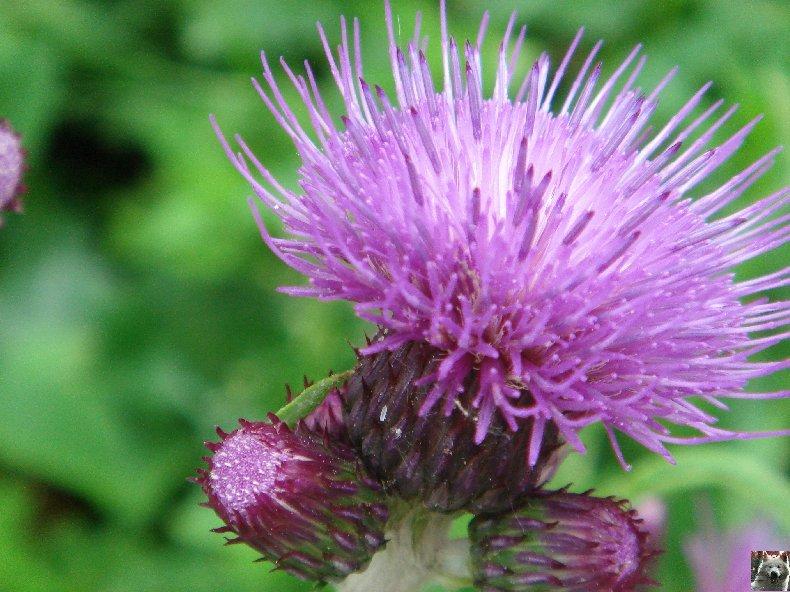 Fleurs de nos champs 0153