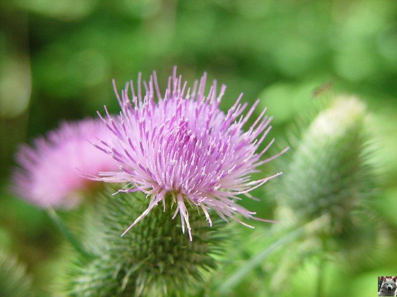 Fleurs de nos champs 0156