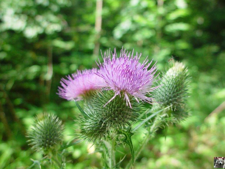Fleurs de nos champs 0157