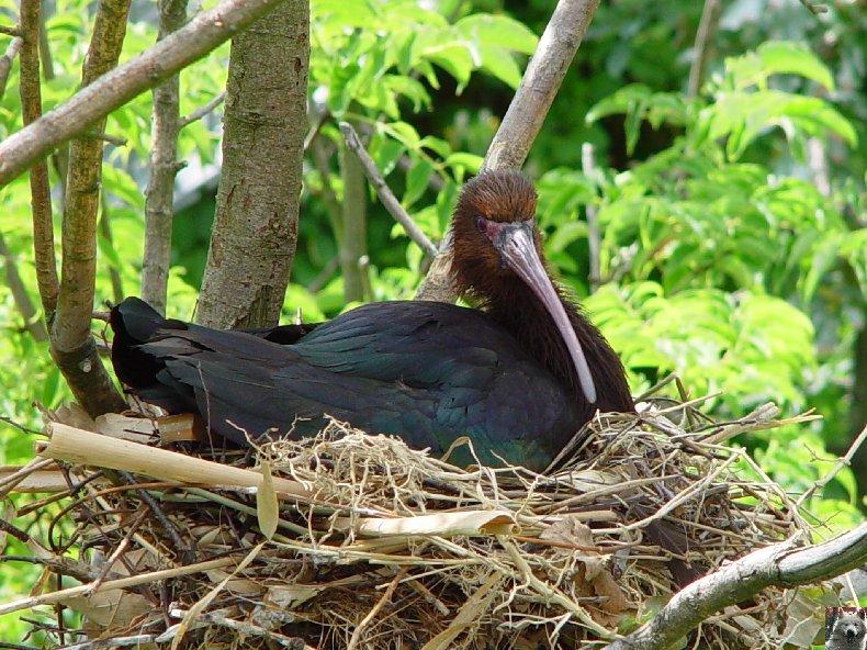 Quelques pensionnaires du Parc ornithologique des Dombes (01) 0005