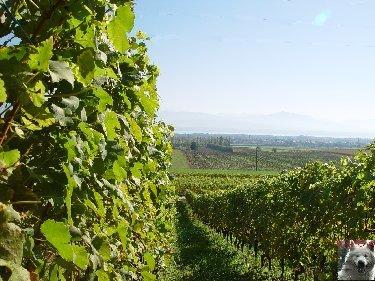 Le vignoble côté Léman (VD) 0002
