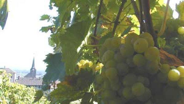 Le vignoble côté Léman (VD) 0003g