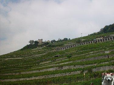 Le vignoble côté Léman (VD) 0007